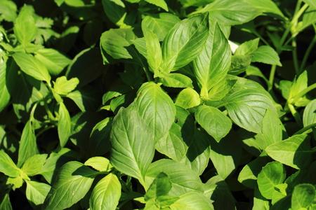 nice food: базилик растение, как хороший пищевой ингредиент фоне Фото со стока
