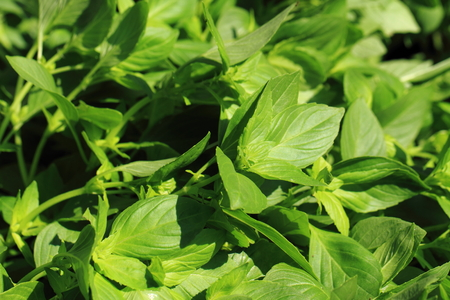 nice food: basil plant as nice food ingredient background Фото со стока