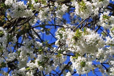 white blossom: apple flowers and blue sky as nice natural background