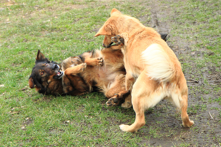 animal fight: two dogs are fighting in the grass