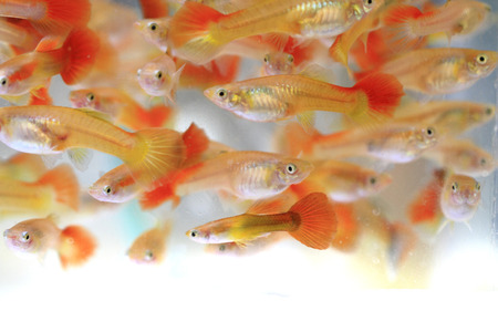 guppies: guppy fishes as very nice animal background