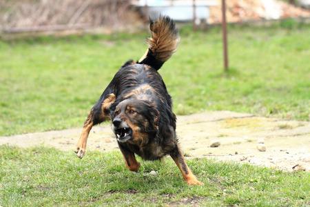 kampfhund: Hund k�mpft gegen mich im Gras