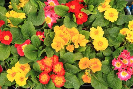 polyanthus: spring polyanthus flowers as very nice natural background