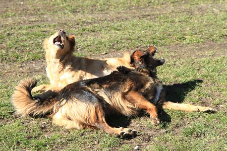 kampfhund: zwei Hunde im Gras kämpfen