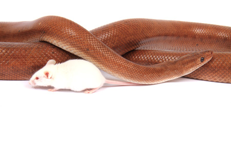 orange snake: rainbow boa snake and his friend small white mouse