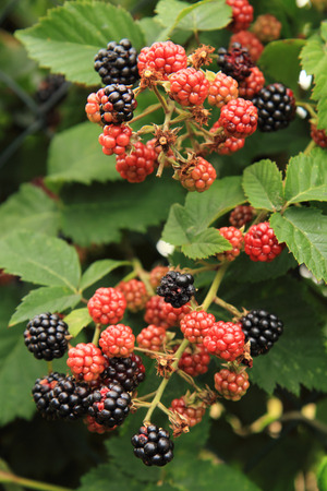 nice food: detail of blackberries plant as nice food background Фото со стока