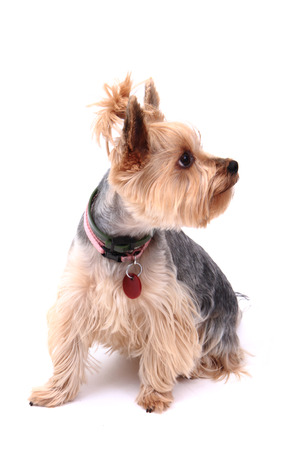 yorkie puppy dog isolated on the white background