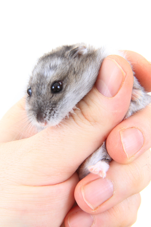 dwarf hamster: dzungarian hamster in human hand isolated on the white background