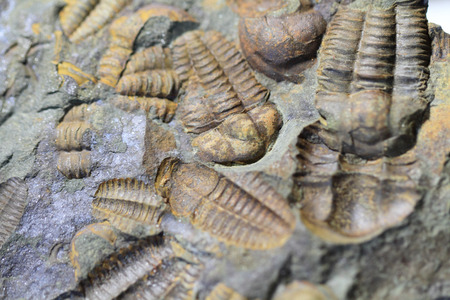 fossil: trilobite fossil as very nice natural background