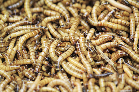 worm infestation: fresh living worms as food for people or animals