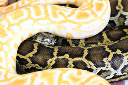 albino: albino and normal snake as very nice background Stock Photo