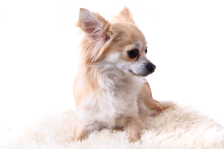 chihuahua puppy: small chihuahua puppy is resting at home Stock Photo