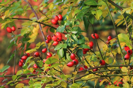 briar: Briar fruit, wild rose hip shrub in nature Stock Photo