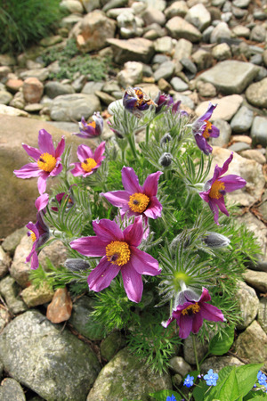 pasqueflower: pasqueflower as one of the best sprig time flowers