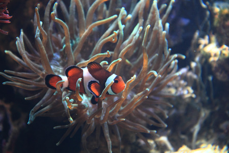 clown fish: clown fish nemo with natural colar background