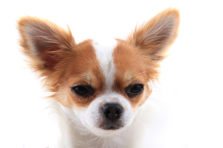 razas de personas: head of sweet chihuahua isolated on the white background Foto de archivo