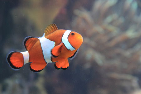 clown fish nemo with natural colar background