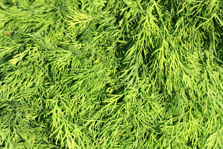 dill leaves: fresh dill leaves texture as natural food texture