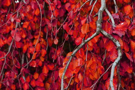 soft peak: color autumn leaves as nice  natural background