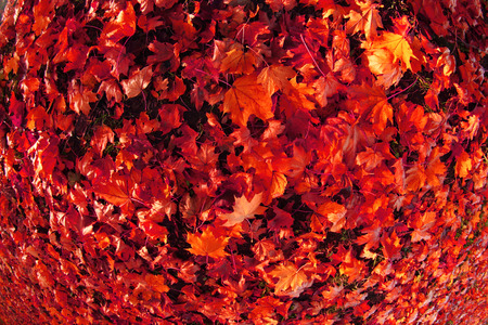 autumn color leaves as very nice natural background