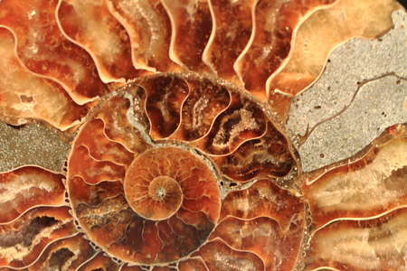 ammonites fossil as nice natural geology background Stock Photo