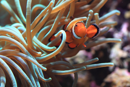 indo: Clown Anemonefish, Amphiprion percula as nemo fish