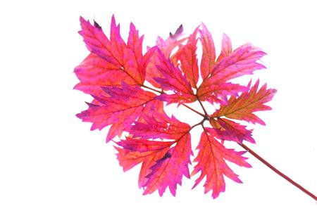 soft peak: color autumn leaf on the white background