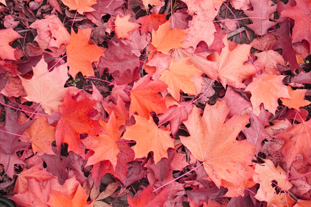 soft peak: color leaves background from the czech autumn