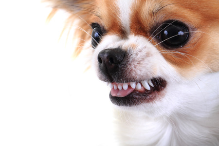 dangerous chihuahua face isolated on the white background Banco de Imagens