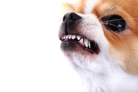 dangerous chihuahua face isolated on the white background 스톡 콘텐츠