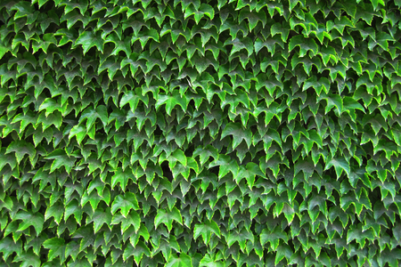 hedgerow: green leaves texture as very nice natural background Stock Photo