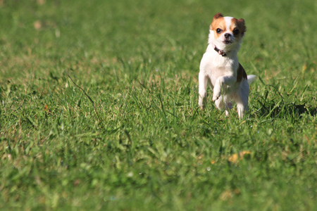 small dog: small cute chihuahua is running in the grass Stock Photo