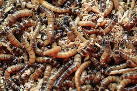 mealworm: fresh mealworms food for animals as nice background