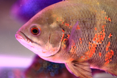astronotus: detail of oscar fish as nice animal background
