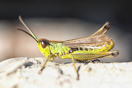 very nice green grasshopper in the nature