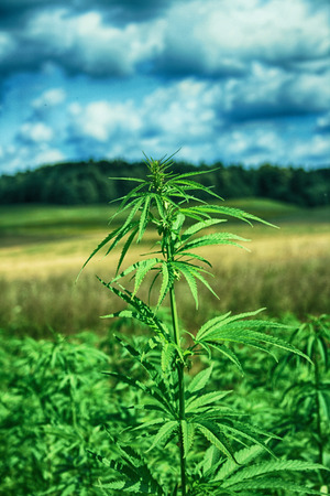 green field of cannabis and the blue sky