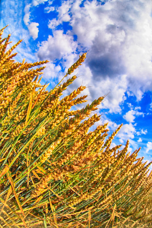 golden field of corn and the blue sky