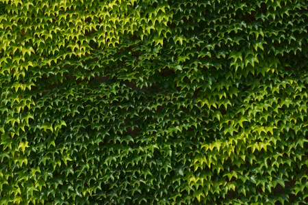 ivy plant testure as nice natural background Stock Photo