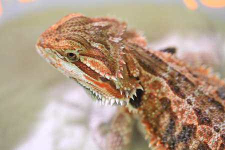 casque: nice head of tropical small brown lizard Stock Photo