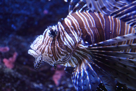 beauty lionfish in the salt sea water