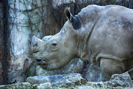 rhino in the ZOO of Ostrava city Stock Photo