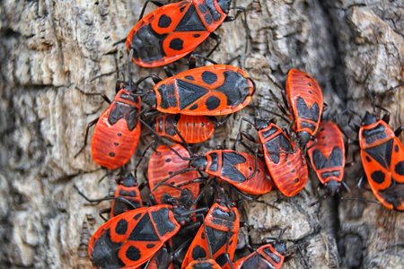 standout: red bugs on the brown bark of the tree Stock Photo