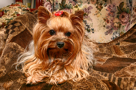 brown haired: dog  yorkshire is resting on the brown background