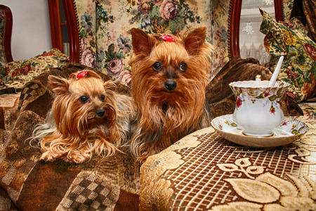 two nice yorkshire are resting and drinking coffe