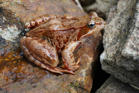 brown common frog is resting in the garden