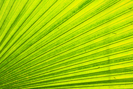 green leaf background from the palm tree