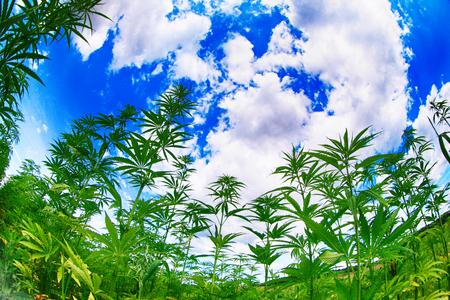 Marihuana-Feld und blauer Himmel in der Tschechischen Republik Standard-Bild - 83921790