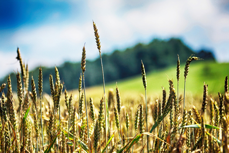 very nice natural background with golden corn
