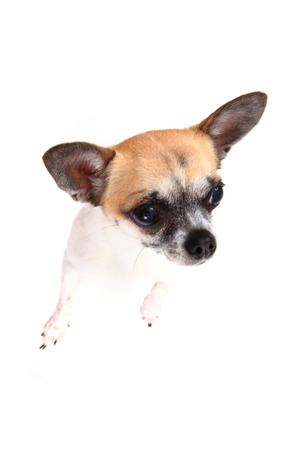 miniature breed: small chihuahua isolated on the white background Foto de archivo