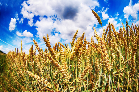 nice golden corn field and the blue sky